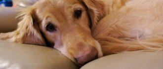 Анализ характерных симптомов, причин простатита у собак и как их лечить