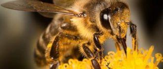 О пользе пчелоужаливания и яда от укусов пчел при простатите