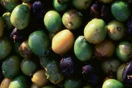 Плоды пальмы ползучей