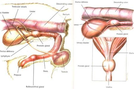 Пальпация предстательной железы при аденоме