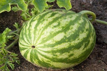 Можно ли есть арбуз при простатите: польза его семян для лечения