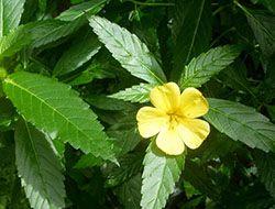 цветок дамиана