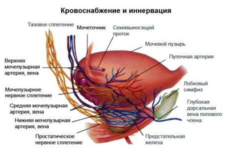 Схема кровоснабжения простаты и других органов