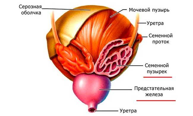 Предстательная железа и семенной пузырек