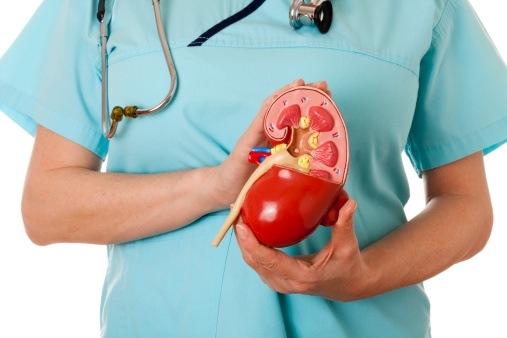 врач держит макет моче-половой системы